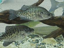 Crappie By Underwater Structure